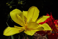DSC04411 (gregnboutz) Tags: flower flowers bloomingflower bloomingflowers brightflowers colorfulflower colorfulflowers gardenflower gardenflowers macroflower macroflowers miissouriflowers missouriflower missouriflowers prettyflowers springflowers yellow yellowflower yellowflowers yellowtulips