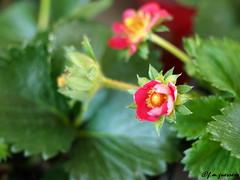 FRAGARIA-FRESA. (franciscomartnez244) Tags: mark ii zuiko 40150 28 flor