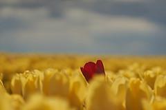 Be different (Froschkönig Photos) Tags: be different bedifferent gelb yellow rot red rosso 6000 a6000 ilce6000 sonyalpha6000 trioplan 100mm meyeroptikgörlitz schwanenberg tulpen tulips cool