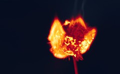 Can't flaming decide 1 (orbed) Tags: fire dandelion macromondays fourelements weed smoke combust nova sun flare seed