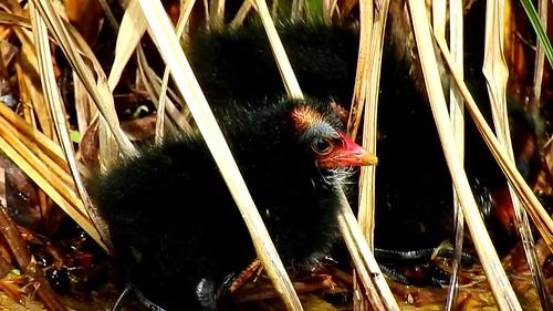 AP0402.DSCN0317.11 oiseau aquatique 25 (poule d'eau poussin lac nourrit) Pref