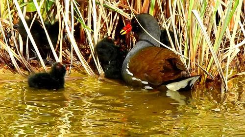 AP0402.DSCN0317.02 oiseau aquatique 25 (poule d'eau poussin lac nourrit) Pref