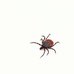 Who loves ticks ? (phileveratt) Tags: macromondays eyeofthebeholder tick ixodesricinus sheeptick deertick canon eos77d ef100mmf28usmmacro something i
