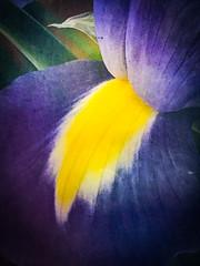 Iris (judy dean) Tags: judydean 2019 iphone artclass flower macro iris blue yellow texture ps