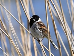 Reed Bunting / rietgors (douwesvincent) Tags: breeding wings bird birding lauwersmeer water outdoor nature colour photo canon enjoy close natural