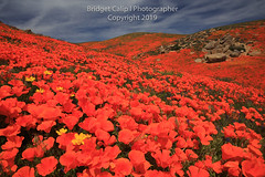 The Hills Are Alive With the Sound of California Poppies (Bridget Calip - Alluring Images) Tags: 2019 alluringimagescolorado antelopevalley bridgetcalip california californiapoppies phacelia superbloom tehachapimountains tejonranch allrightsreserved blueskies bluebonnets botanical copyrighted coreopsis creamcups fiddleneck flora goldfields highwindsaloft kerncounty lupine monolopia mountainwaveclouds outdoors owlsclover tejonranchconservancy tidytips wild wildincalifornia wildflowers