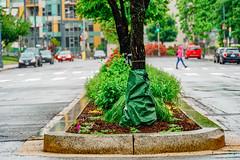 2019.05.04 Vermont Avenue Garden Blooms and Work Party, Washington, DC USA 01949