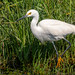 Yet another Snowy Egret