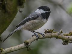 Black-capped Chickadee (Poecile atricapillus) (fugle) Tags: blackcappedchickadee chickadee portland multnomah co oregon columbiachildrensarboretum