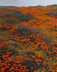 Blue Phacelia, Poppies, Goldfields (srjarratt) Tags: bluephacelia goldfields poppies industar37 f45 300mm toyo omega view 45e sony a7 panorama stitcher super bloom 2019 antelope valley california poppy reserve