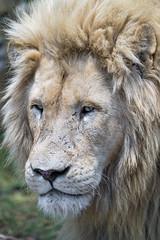 Another white lion (Tambako the Jaguar) Tags: lion big wild cat white male close portrait face bored tired mane beautiful feeding safari lionsafaripark johannesburg southafrica nikon d5 explore