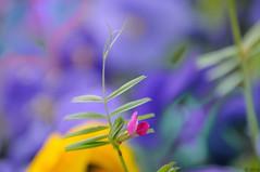 Petali (ironmember) Tags: petali petaloso fiori fiorioso bokeh sfondosfocato ridottapdc manolibera 300mm 300mmmacro macro telemacro tamron300mm tamron16300 nikond90 d90 nophotoshop viewnx2 capturenx2 scattoraw madeiphoto cromie allaperto inpiazzalearnaldo abrescia aiuole mafselettiva