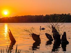 Sunset with swan (Steppenwolf33) Tags: sunset lake swan müggelheim steppenwolf33 köpenick water sky stump ngc