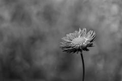 flower b&w (Greg M Rohan) Tags: macroflower macro blur bw blackandwhite monochrome blackwhite nature garden petals plant flower australia 2018 d750 nikon nikkor 花