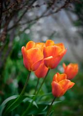 Marlay Garden (Shaka1277) Tags: marlay marlaypark marlayhouse garden flower flowerss red orange flowers vignette 35mm 35 apsc fuji fujifilm bokeh plant plants