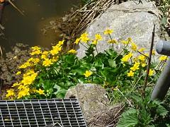 """Am Neuhausergraben im Frühling – Naturidylle in Oberschwaben (warata) Tags: 2019 deutschland germany süddeutschland southerngermany schwaben swabia oberschwaben """"schwäbisches oberland"""" """"badenwürttemberg"""" badenwuerttemberg frühling spring blume blüte pflanze natur nature outside landscape garden haslach rot fluss river neuhausergraben """"rot an der rot"""" idylle """"sony dschx400v"""""""