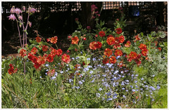 Garden Glory (Englepip) Tags: garden geum aquilegia forgetmenot flowers shadows green orange blue pink lavender jackbythehedge poppy valerium