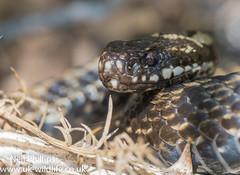 Adder-18 (Neil Phillips) Tags: reptilia vipera viperaberus adder berus reptile snake venomous viper