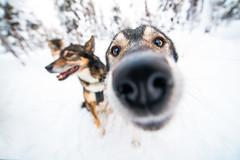 Gro and Legolas (Bernie Totten) Tags: nikon1424 1424 nikond850 d850 husky dogsleigh dog nose animal cute snow sweden kiruna arcticcircle