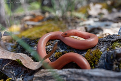 Northern Rubber Boa (Charina bottae) (Chad M. Lane) Tags: wildlife wildlifephotography wild explore exploring reptiles reptile travel tamron tamronsp35mmf18divcusd calaverascounty rubberboa charinabottae california californiawildlife californiaherps sierranevadamountains sierra nevada