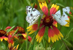 Two butterflies and a flower! (sharivahidi) Tags: butterfly texas spring flowers indianblanket