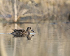 Blue Winged Teal Hen in Flooded Timber (Matthew Schmalz) Tags: