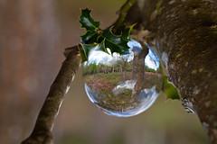 _MG_4611 (phreddyy) Tags: glass sphere crystal photo newforest england uk hampshire woodland country countryside location wildlife tree trees grass animal cow horse holly sunny sunnyday canon 5d2 5dmkii canon5dmkii orb ball