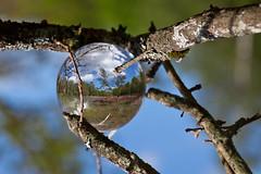 _MG_4607 (phreddyy) Tags: glass sphere crystal photo newforest england uk hampshire woodland country countryside location wildlife tree trees grass animal cow horse holly sunny sunnyday canon 5d2 5dmkii canon5dmkii orb ball