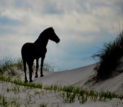 Wild Horse, Silhouette #1 (tvdflickr) Tags: horse wild outerbanksnorthcarolina nikon df nikondf tvdimages photobythomasdriggers thomasdriggersphotography photosbytomdriggers silhouette silhouettephotography wildlife