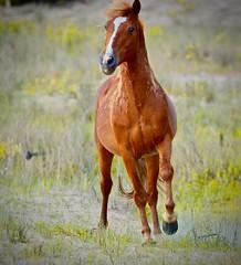 Galloping Wild Horse (tvdflickr) Tags: wildhorse horse northcarolina outerbanks wild stallion nikon df nikondf