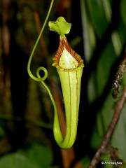 Pitcher Plant, Nepenthes sp. (Ecuador Megadiverso) Tags: andreaskay citynaturechallenge ecuador flower nepenthessp pitcherplant tena nepenthaceae