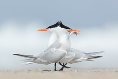 Courting Terns (just4memike) Tags: animal beach beautiful bird blurredbackground elegant eye feather nature small tern water white wildlife wing