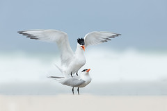 Courting Terns (just4memike) Tags: animal beautiful bird blurredbackground elegant eye feather nature shore small tern water wave white wildlife wing