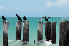 Cormorants, gulls and royal terns. (j1985w) Tags: florida naples ocean sky clouds water pilings beach birds cormorant gulls tern