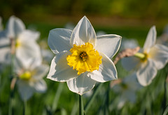 Spring (LuckyMeyer) Tags: light sun yellow green blüte blume spring fleur flower