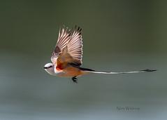 Scissortail Flycatcher in Flight (Pragmatic1111) Tags: scissortailflycatcher bird nature wildlife nikon d500 feather fly flight scissortail oklahoma