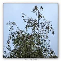 Pb_4290079 (calpha19) Tags: imagesvoyagesphotography photography adobephotoshoplightroom olympusomdem1mkii zuiko ed50200swd printemps 2019 ngc flickrsexplore oiseaux choucas faucon grangessurvologne grandest vosges faune