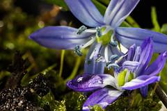 Earth & Water - Macro Monday (soniamarmen) Tags: macromonday macro 4elements water earth flower blue scilla sibirica