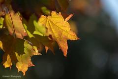 2019 Mt Lofty April Finals LR WM-3 (Helen C Photography) Tags: adelaide hills south australia mount lofty autumn nature colours nikon d750 sunset dusk leaves yellow orange green