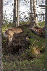 Kauris - Capreolus capreolus (Janne Maikkula) Tags: kauris meltaus lappi deer metsä luonto eläin nisäkäs lapland rovaniemi puita treees kevät spring finland