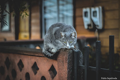 IMG_7634 (Pablo_sc) Tags: cat gato colours 50mm canon canont6 1300d apsc