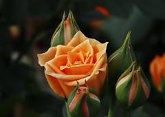 Rose (Hugo von Schreck) Tags: hugovonschreck rose flower blume blüte macro makro canoneosm50 tamronsp90mmf28divcusdmacro11f017