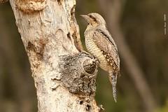 Colltort* (Enllasez - Enric LLaó) Tags: colltort aves aus bird birds ocells pájaros vallbona hide