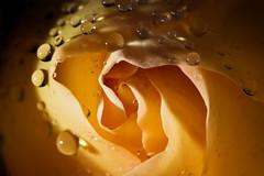 Cool water... (Altazur) Tags: macromondays fourelements rose flower macro