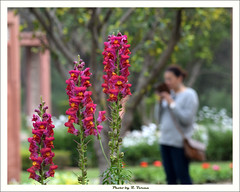 Snapdragon Flowers (Verma Ruchi) Tags: antirrhinum snapdragonflowers dogflower flowers pink yellow green