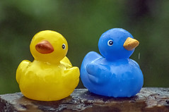 looking for summer (sean and nina) Tags: ducks blue rain outdoors nature rubberducks yellow plastic toys fun funny outdoor outside faces beaks weather eyes