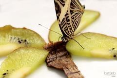 Vegan, or not? (Bernardo Serrano) Tags: canon insectos bugs wild salvaje naturaleza nature mariposas butterfly butterflies