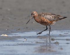 Rosse-Grutto, Bar-tailed Godwit (Henk Laverman) Tags: rossegrutto bartailedgodwit foeragerend slik waddenzee voedselzoeken zomerkleed