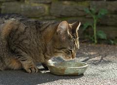 Cat (gerhardschorsch) Tags: katze zeiss za ilce7r a7r available availablelight festbrennweite fe55mmf18za 55mm vollformat f18 fe55mm fauna sony ilcea7r cat fressnapf carlzeiss