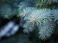 pine needle (banagher_links) Tags: olympus omd em10 mark iii sigma mft micro 43 nature pine needle